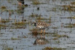 Ruff (Philomachus pugnax)